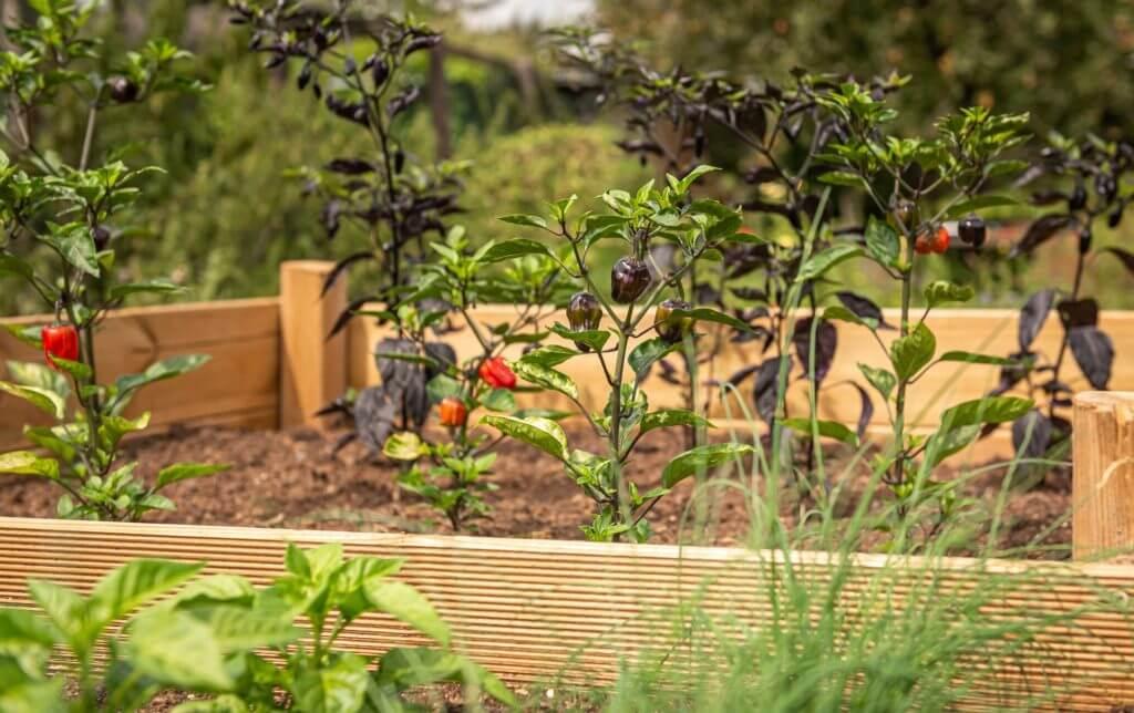 Hochbeet selber bauen – eine einfache Anleitung Paprika